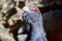 Auerhahn Vogel Wild Tier