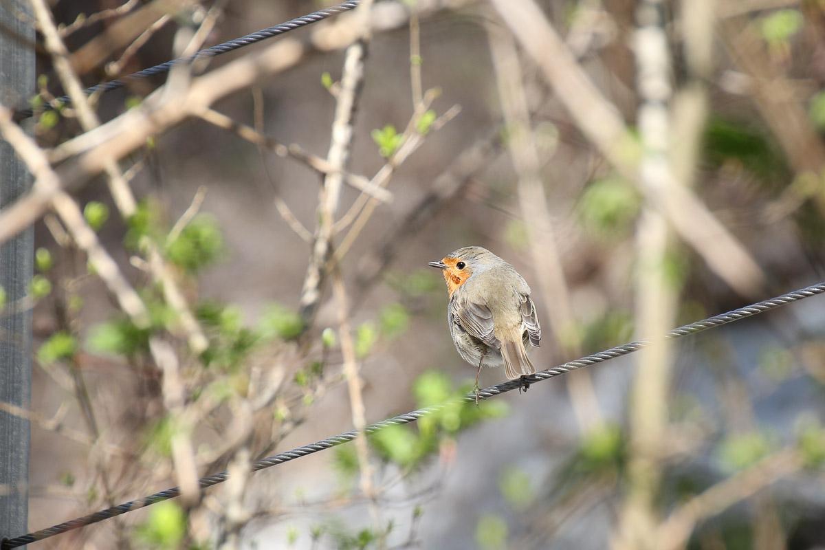 Rotkehlchen Vogel Tier